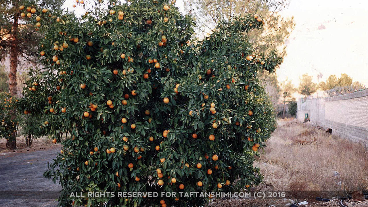 TaftanShimi_Orange2