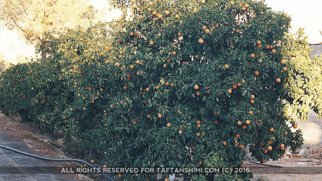 TaftanShimi_Orange3