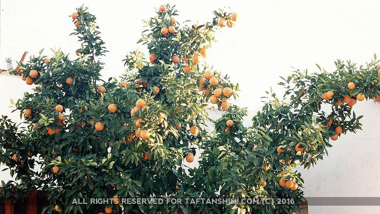 TaftanShimi_Orange5